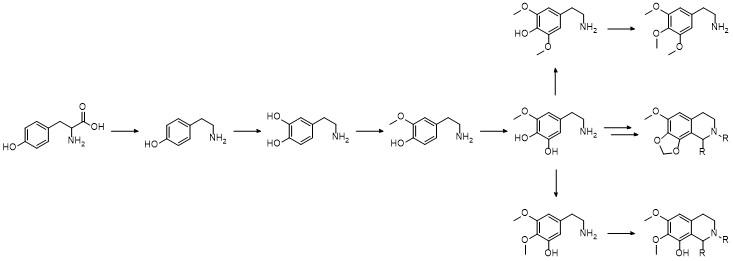 Mescaline_biosynthesis.jpeg